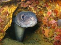 Европейский underwater conger спрятанный в отверстии Стоковая Фотография RF
