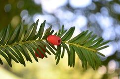европейский yew Стоковые Фотографии RF