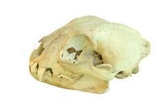 Европейским череп изолированный рысем Стоковые Изображения