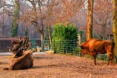 2 европейских бизона в их среде обитания в предпосылке зоопарка - зеленой и красной осени Стоковая Фотография
