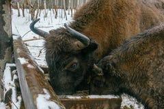 2 европейских бизона едят травы велюров Стоковое фото RF