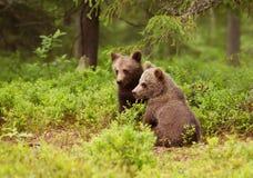 2 европейских новичка бурого медведя в бореальном лесе, Финляндии Стоковое фото RF