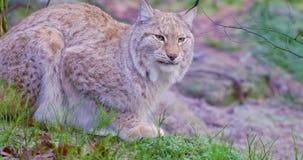 2 европейских остатка котов рыся в лесе сток-видео
