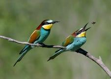 2 европейских пчел-едока сидят на склонной ветви на запачканной зеленой предпосылке Стоковые Фотографии RF