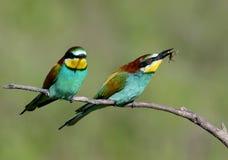 2 европейских пчел-едока сидят на склонной ветви на запачканной зеленой предпосылке Стоковое Изображение