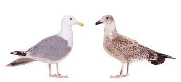 2 европейских чайки, детеныши и взрослого сельдей Стоковое Изображение