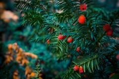 Европейское дерево yew с ягодами Стоковое фото RF