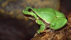 Европейское зеленое древесной лягушки Hyla arborea arborea Раны в прошлом Стоковые Фото