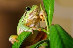 Европейское зеленое древесной лягушки Hyla arborea arborea Раны в прошлом Стоковая Фотография