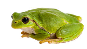 Европейское зеленое усаживание древесной лягушки изолированное на белизне стоковое фото