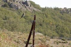 Европейское apiaster Merops пчел-едока Стоковое фото RF