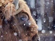 Европейское bonasus бизона бизона в естественной среде обитания в зиме Стоковые Изображения