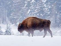 Европейское bonasus бизона бизона в естественной среде обитания Стоковые Фотографии RF