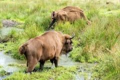 Европейское bonasus n iBison бизонов своя естественная среда обитания стоковое фото
