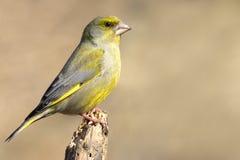 европейское greenfinch Стоковые Фотографии RF