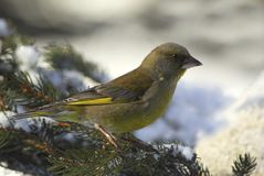 Европейское greenfinch (chloris Carduelis) Стоковое Фото