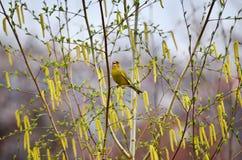 Европейское greenfinch (chloris Carduelis) Стоковые Изображения RF