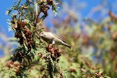 Европейское greenfinch (chloris Carduelis) Стоковая Фотография