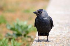 Европейское monedula Corvus галки/monedula Coloeus Стоковые Изображения RF