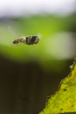 девушка летания costume пчелы малая Стоковые Фотографии RF