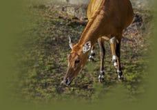Египетская антилопа Стоковые Фото