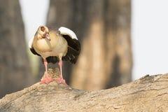 Египетская гусыня отдыхая на журнале Стоковое Фото