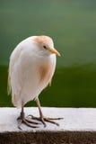 египетская цапля Стоковая Фотография RF