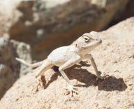 Египетская ящерица агамы пустыни на утесе Стоковое Изображение RF