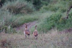 Египетские гусыни в Serengeti, Танзании Стоковые Фотографии RF