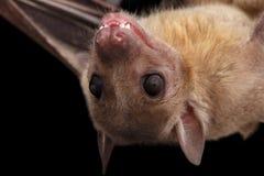 Египетские летучая мышь плодоовощ или rousette, черная предпосылка Стоковая Фотография RF
