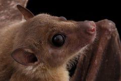 Египетские летучая мышь плодоовощ или rousette, черная предпосылка Стоковые Фотографии RF