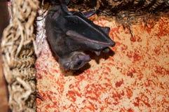 Египетские собака мухы или aegyptiacus Rousettus Стоковые Фотографии RF
