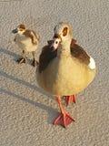 Египетские цыпленок и мама Стоковое Изображение