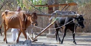 Египетский фермер демонстрируя метод сельского хозяйства Стоковое Фото