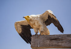 Египетский хищник в Сокотре Стоковые Фотографии RF
