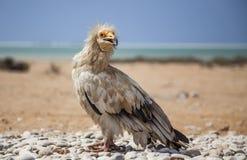 Египетский хищник в Сокотре Стоковое Изображение RF