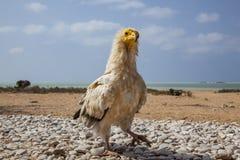 Египетский хищник в Сокотре Стоковые Фото