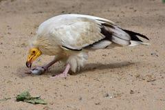 египетский хищник Стоковое фото RF