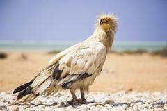 Египетский хищник, percnopterus neophron, угрожал в одичалом Стоковая Фотография
