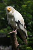 египетский хищник percnopterus neophron Стоковое Изображение