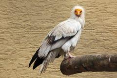 египетский хищник percnopterus neophron Стоковые Изображения