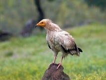 египетский хищник percnopterus neophron Стоковая Фотография RF