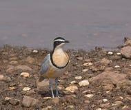 египетский plover Гамбии Стоковые Фотографии RF