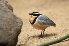 египетский plover Стоковое Изображение
