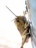 Египетское aegyptium Anacridium саранчи Стоковая Фотография RF