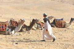Египет Идущ чабан в тюрбане к верблюдам Стоковая Фотография