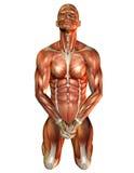 его изучение мышцы человека коленей Стоковое Изображение