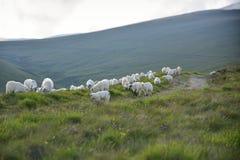 его чабан овец Стоковые Фотографии RF