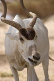 еда антилопы Стоковые Фото