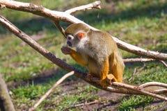 еда белки обезьяны Стоковое Фото